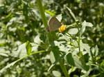 センダングサの蜜を吸うシジミチョウ