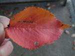 染井吉野の紅葉