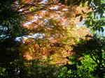 乃木邸の紅葉