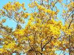 小楢の黄葉