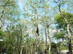 ハンノキの林
