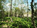 ハンノキの林とミズバショウ