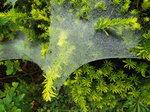 コクサグモの巣(網)