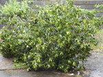 台風ファクサイで倒れたビワの木