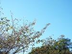 快晴の青空に桜の紅葉