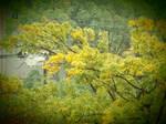 我が団地のコナラの黄葉