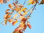 マユミの紅葉と若い実