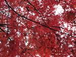 庭のモミジの紅葉