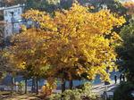 庭のコナラ、今朝の色