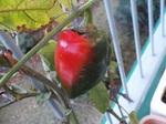 家庭菜園のピーマン真っ赤に…