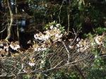庭の染井吉野