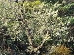 我が家裏庭の山桜