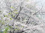 染井吉野に雪