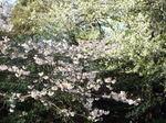 名残りの桜・染井吉野に山桜