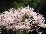 はるめき桜