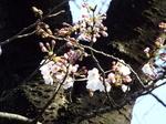 我が庭染井吉野の標準木開花