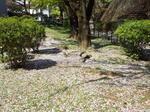 桜・敷花弁