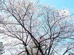 我が庭の標準木の染井吉野