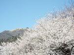 大島桜と駒ケ岳