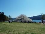 大島桜の一本桜(箱根園)