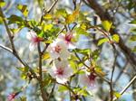 マメザクラ(豆桜、富士桜とも…)