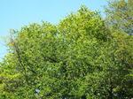 山桜の新緑・葉桜