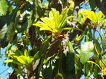ユズリハの新緑