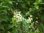 卯の花(空木)
