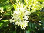 ネズミモチの花
