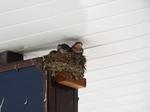 ツバメの巣と子燕