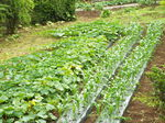 南瓜の花とトウモロコシの苗