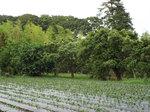 竹林と栗林にサツマ芋畑
