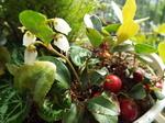 コケモモに近いツツジ類の花と実