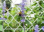 サルビアとクマバチ(熊蜂)