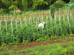 トマト畑で作業の女性