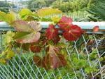 早くも蔦の紅葉