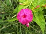 オシロイバナ(紅花)