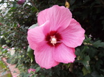 ムクゲ(木槿)紅花