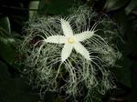 カラスウリ(烏瓜)の花