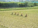 田圃の稲藁