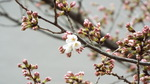 我が庭の染井吉野開花