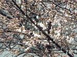 お彼岸、桜に雪