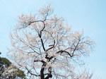 皇居乾通・江戸彼岸桜