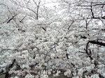 目黒川・染井吉野