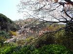檑亭の山桜