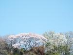来迎寺裏山の山桜