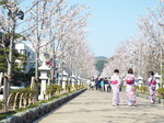 若宮大路の桜並木