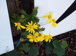 家菊(菊の園芸種)