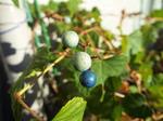 我が家の野葡萄の実