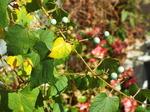 野葡萄の枝葉と実